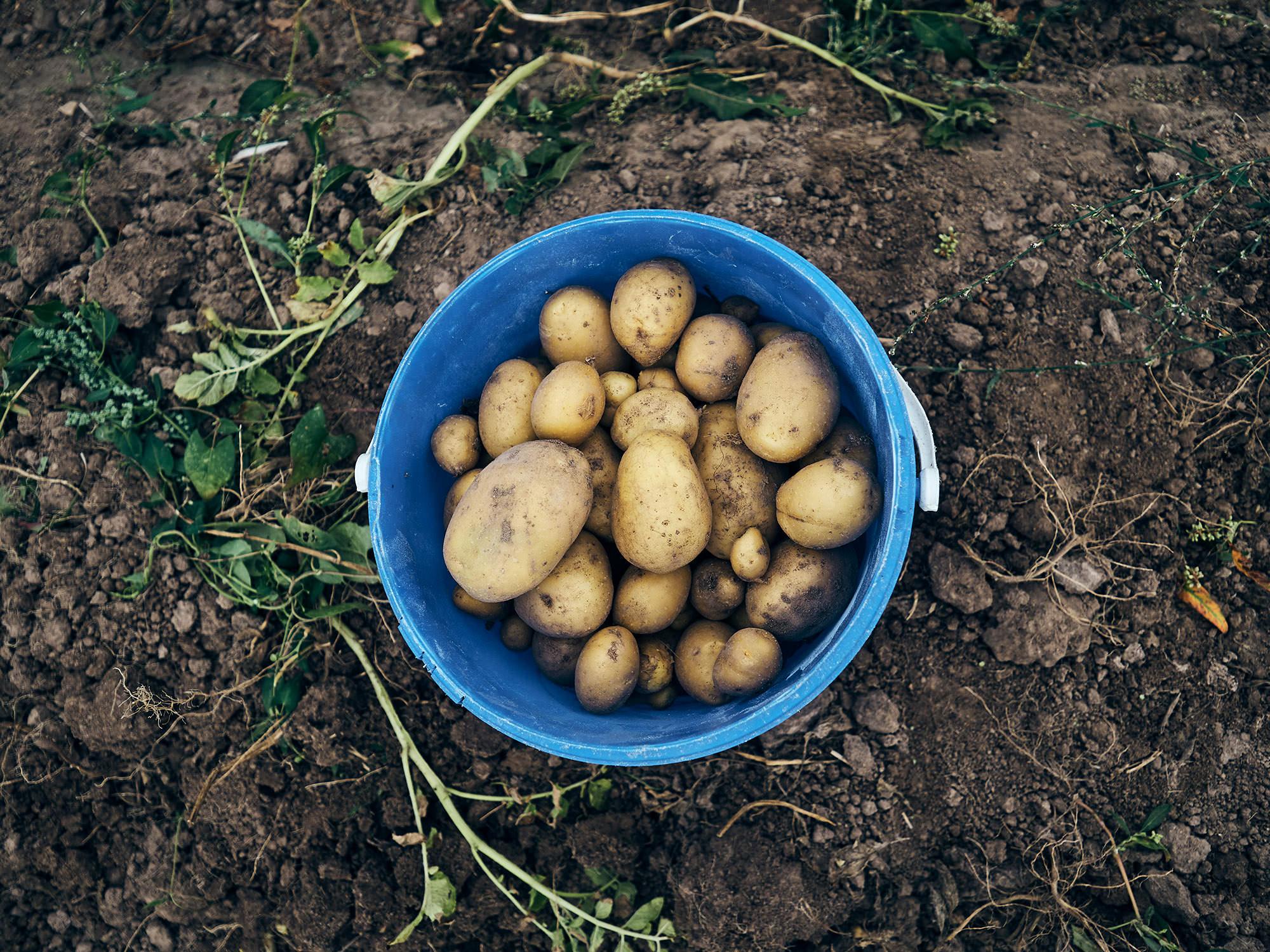 Kartoffelanbau in solidarischer Landwirtschaft – Bioland-Bauernhof Fetz