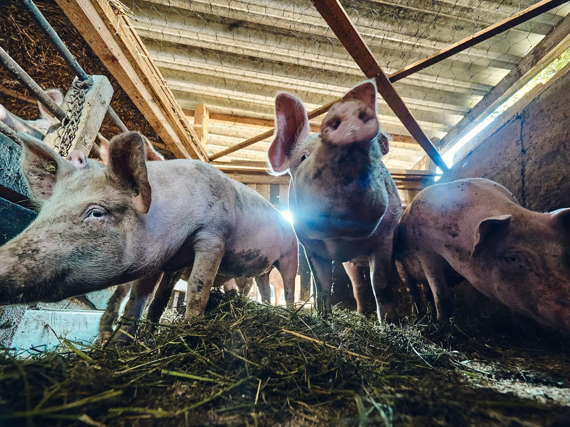 Schwäbisch-Hällisches Landschwein vom Bioland-Bauernhof Fetz