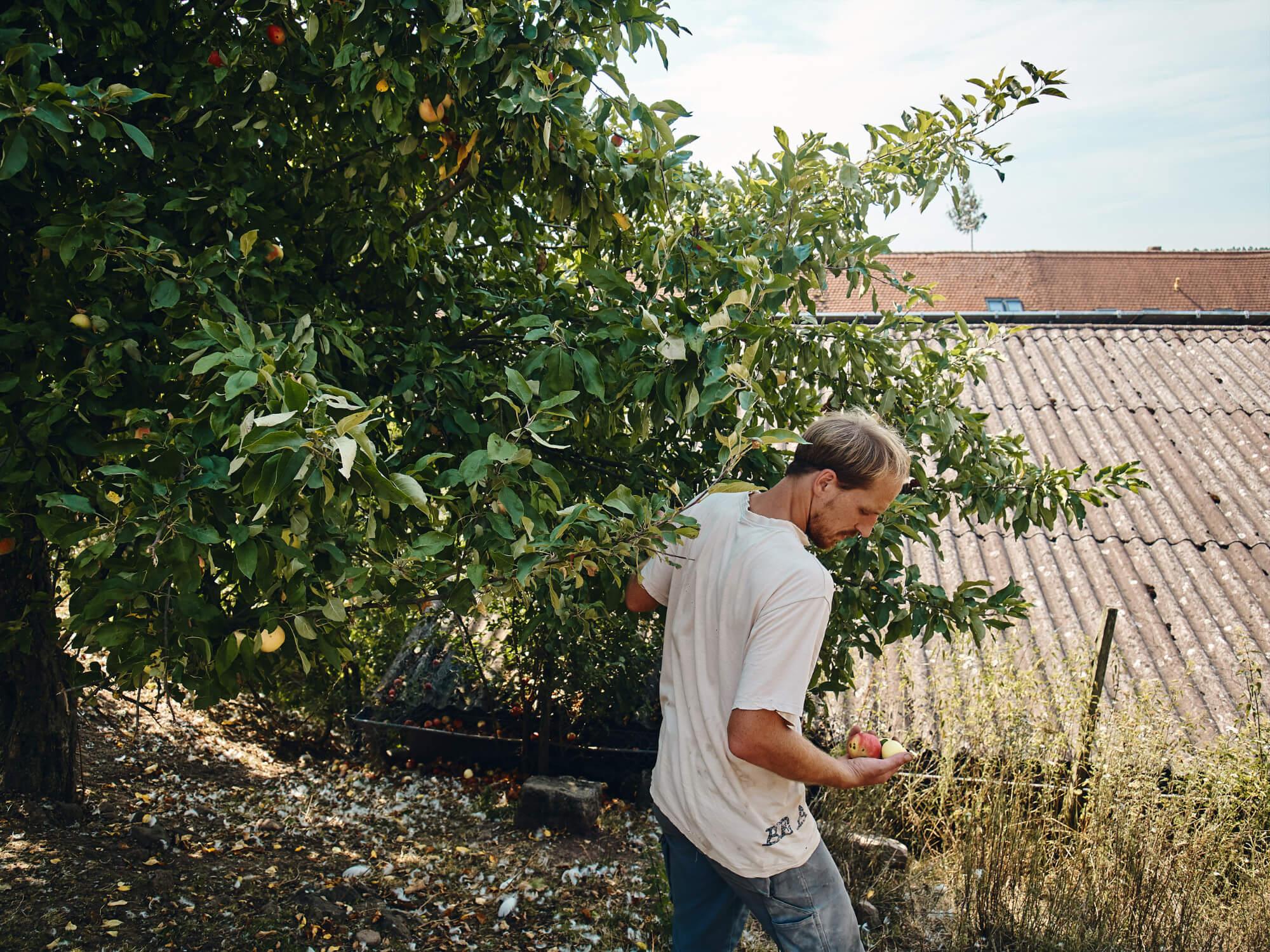 Johannes Fetz bei der Apfelernte