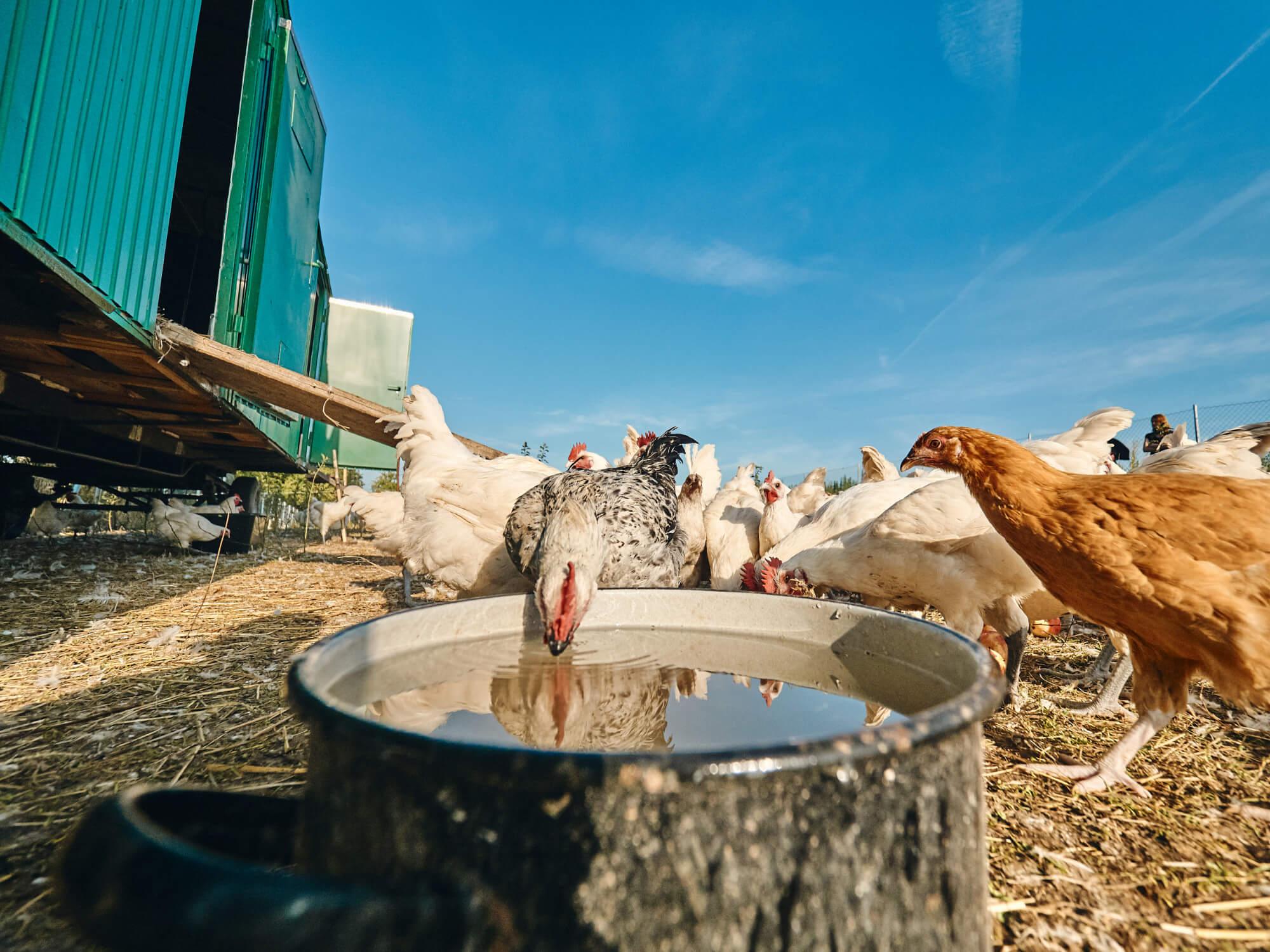 Les Bleues – Bio-Hühner-Haltung in Götteldorf